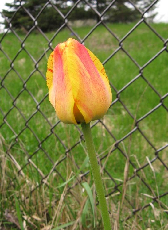 single tulip bulb